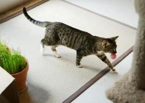 """Adult Male Cat - Domestic Short Hair-Tabby (Brown): """"Lionel"""""""
