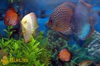Looking for Discus