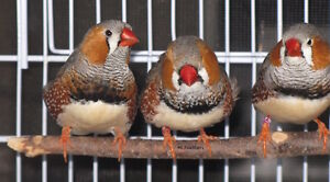 English and black cheeked zebra finch