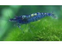 Tropical Blue dream / Red shrimps *Home Delivery*