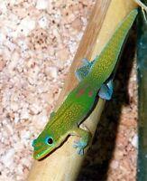 Phelsuma laticauda. Gold dust day gecko