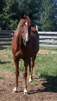 Appendix bred AQHA mare and APHA buckskin paint  foal