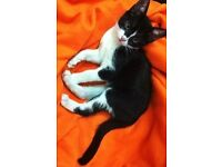 Free to a good home 6 moths old black and white kitten