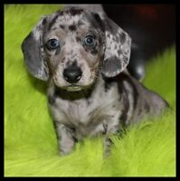 Lowrider CKC Mini Dachshunds taking deposits for future pups.