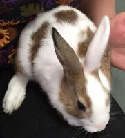 "Baby Male Rabbit - Bunny Rabbit: ""Snickers"""