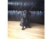 Puppy Labrador for sale!