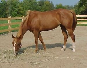 Registered AQHA Mare and Donkey