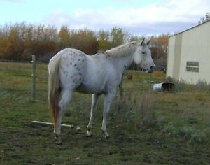 Friendly TopQuality15.3h geldng Great reining/rodeo/ranch prosp.
