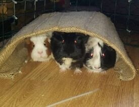 Guinea Pigs x3 and Cage Food Dishes, homemade run also.