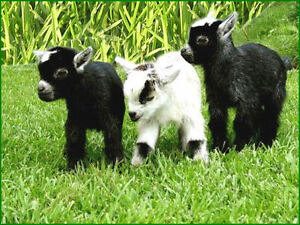 Looking for baby female pygmy goat