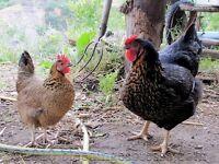 Selection of nice Bantam Hens
