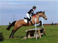 15.1HH PC/RC CON x TB Dun mare **SOLD SOLD SOLD **
