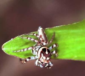 Unwanted jumping spiders? Budgewoi Wyong Area Preview