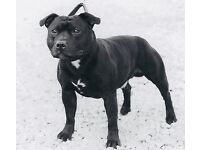 Black Staffordshire Bull Terrier
