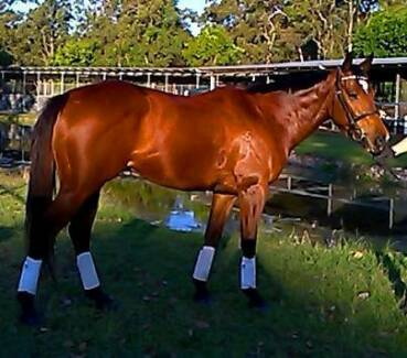 SHOW QUALITY CONFIDENCE BOOSTER / BEGINNERS HORSE,SWEET,SLOW Maroochy River Maroochydore Area Preview