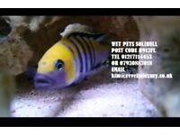 I have some amazing F1 Mbuna Malawis juveniles 4/5cm for sale