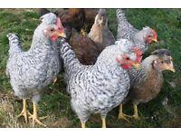 Cream Legbar Cockerels