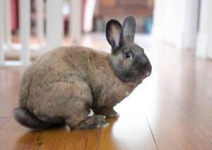 "Adult Male Rabbit - Bunny Rabbit: ""Prezi"" Downtown-West End Greater Vancouver Area image 1"