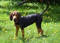 Female Dog - Black and Tan Coonhound-Treeing Walker Coonhound