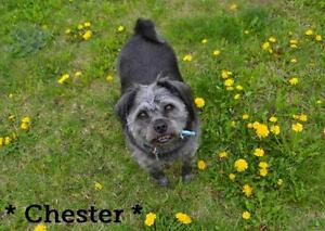 "Adult Male Dog - Schnauzer-Pug: ""Chester"""