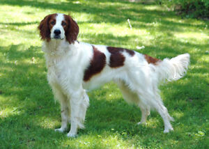 Looking for Orange and White Spaniel or Setter
