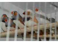 4 Zebra Finches For £20 (£5 Each)