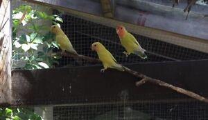 Baby peach face Love birds Baldivis Rockingham Area Preview