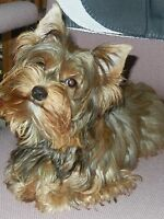 Female yorkie   Reward to person who finds her