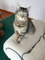 """Adult Male Cat - Tabby - Brown: """"Chester"""""""