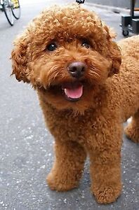 lovely red poodle for rehoming