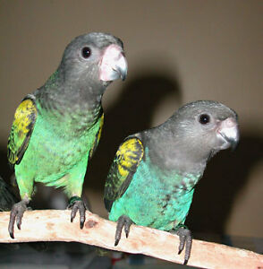 Hand raised super friendly MYER PARROT BABIES