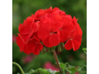 Geranium Horizon Red– Tray of 6 Small Plants £4.00 SOLD OUT