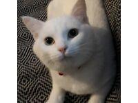 White domestic medium hair kitten for sale micro chipped