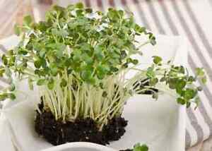 Heirloom/Non-gmo MicroGreens Seeds - Rainbow Seeds Canada