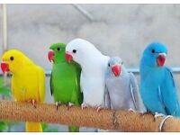 indian Ringneck green violet blue white, Alexandrine parrot 3 month old for sale, cage & del option