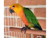 A beautiful Jenday sun conure parrot for sale