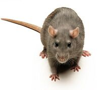RATS & MICE ARE DANGEROUS CALL ME TO REMOVE!