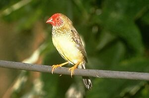 RED faced star finch Male only wanted
