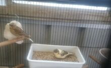 A Young Healthy Beautiful Brown Gloster Crested Canary for sale Ingleburn Campbelltown Area Preview