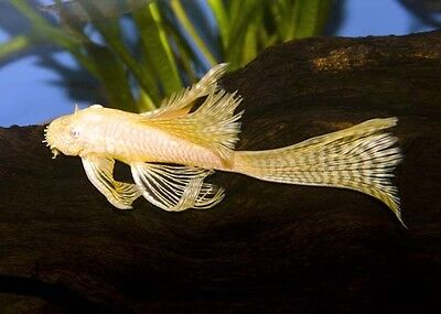 Long Fin Albino Bristlenose Plecostomus  1 25 Inch Live Fish  Fully Guaranteed