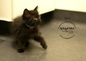 "Baby Female Cat - Domestic Medium Hair: ""Violet"""