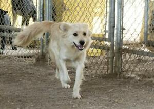 """Young Male Dog - Retriever: """"Whitey"""""""