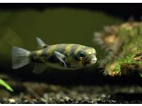 2x South American Puffer Fish ��10