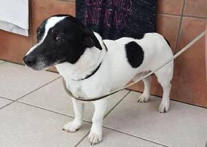 "Adult Male Dog - Jack Russell Terrier: ""Charlie"""