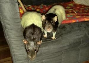 "Adult Male Small & Furry - Rat: ""Kepler & Leo"""