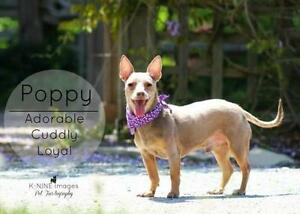 """Adult Male Dog - Chihuahua: """"Poppy"""""""