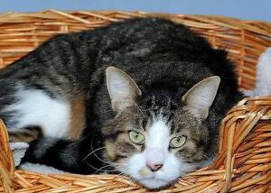 "Adult Male Cat - Domestic Short Hair: ""Nico"""