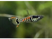 Line bred Santa Maria and Leopard Tail endlers