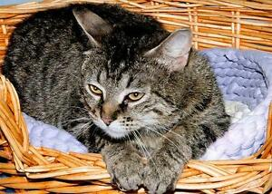 """Adult Female Cat - Tabby (Brown): """"Dolly Parton"""""""