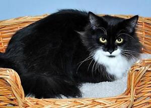 "Young Female Cat - Domestic Long Hair-black and white: ""Willow"""
